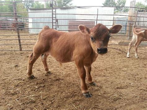 backyard miniature herefords miniature cow low line micro mini jersey mini milk