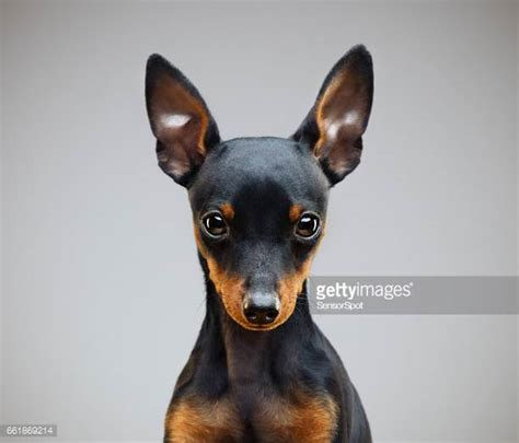 pinscher alimentazione miniature pinscher stock photos and pictures getty images