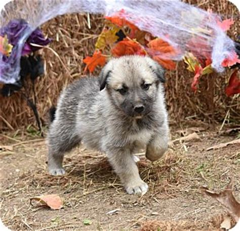 adopt a puppy in ma charlemont ma german shepherd mix meet garrison a puppy for adoption