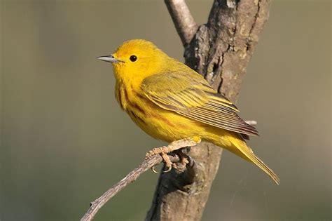 yellow warbler redorbit