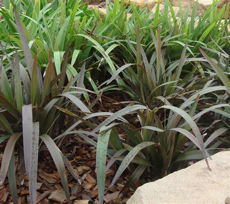 image gallery dianella plant