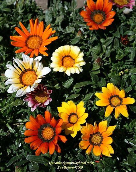 Bunga Gazania Mix 2 photo of the bloom of gazania gazania rigens daybreak mix posted by calif sue garden org