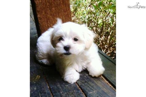 coton de tulear puppies for sale near me coton de tulear for sale for 1 200 near dallas fort worth 62a6ca0f 5fa1