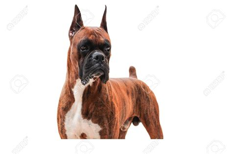 list of purebred dogs boxer puppy looking at the breeds picture