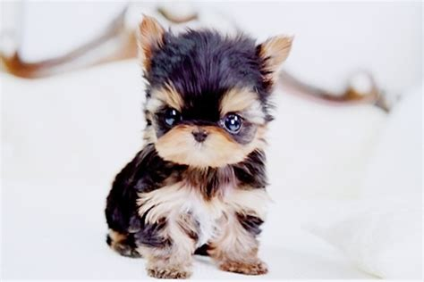 tiny puppies the 10 cutest tiny dogs