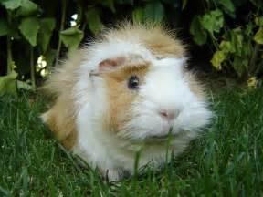 file guinea pig meerschweinchen jpg wikipedia