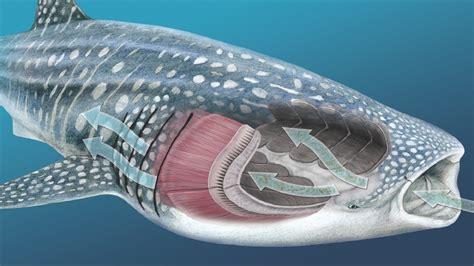 Whale Shark Anatomy
