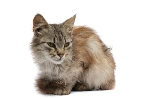 Matted Cat Fur Causes by What Causes Matted Cat Hair Pets