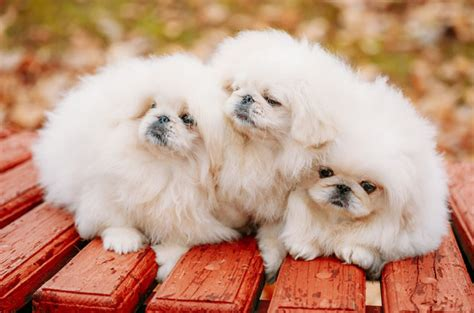 fluffy breeds top 10 cuddly fluffy breeds