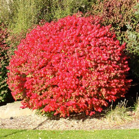 Homedepot Kitchen Faucets onlineplantcenter 3 gal flaming red burning bush shrub