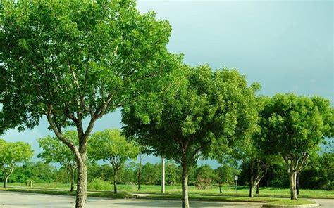 mahogany tree for sale naples