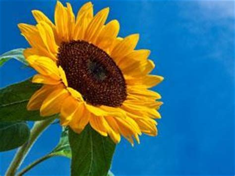 solar cell meets sunflower research chemistry world