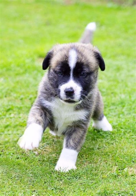 boxer husky puppies boxer husky mix boxsky puppies boxer mix puppies