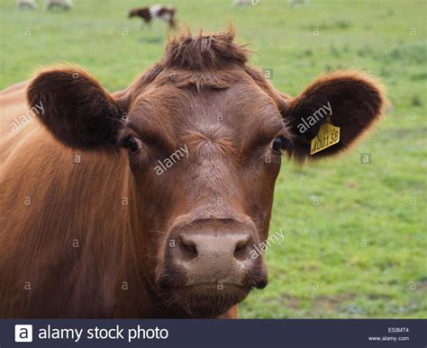 hairstyles for women with a calf lick brown cow with curious expression and cow lick hairstyle