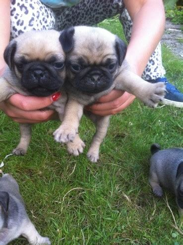 pug puppies for sale in swansea pug puppies for sale swansea swansea pets4homes