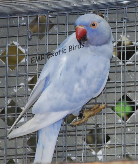 ringneck indian parakeet 146328 for sale in san diego ca