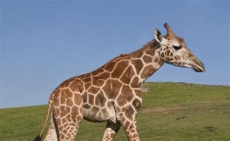 imagenes de jirafas graciosos galer 237 a 28 animales que perdieron el cuello notinerd