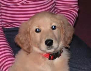 average golden retriever weight by age nancy s what would it be like to ba a golden retreiver i search 2010