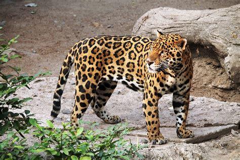 imagenes del jaguar animal photo gratuite jaguar animal zoo nature f 233 lin image