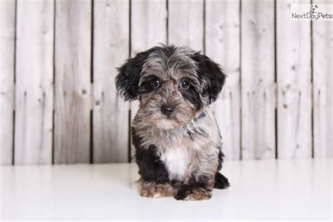 what age is a yorkie puppy grown at what age is a yorkiepoo grown breeds picture