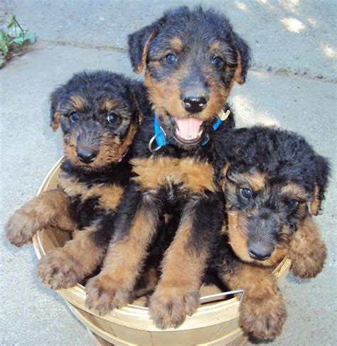airedale puppies airedale terrier breed information and images k9 research lab