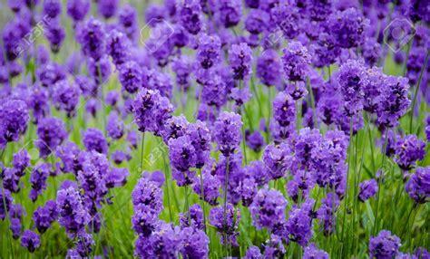 Minyak Bunga Lavender 25ml Murni gambar bunga lavender yang sangat indah kumpulan gambar