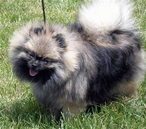 wolf pomeranian pomeranian breed information and pictures