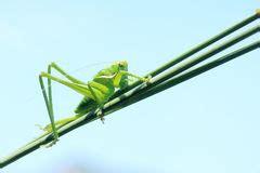 imagenes de grillos verdes grillo verde imagen de archivo imagen 5254851