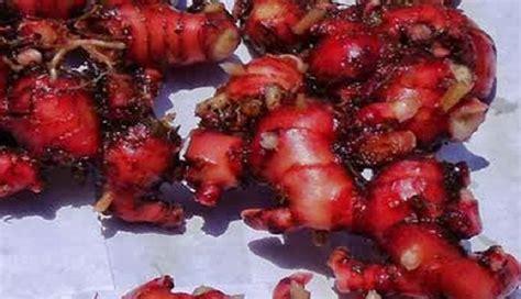 Minyak Atsiri Jahe Merah beberapa obat herbal jahe merah tanaman obat keluarga