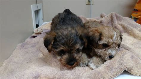 yorkie schnoodle schnoodle mini yorkie pups for sale nex tech classifieds