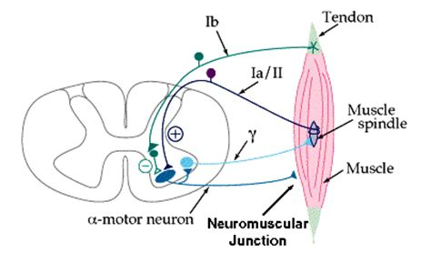alpha motor neurons lie in the tendon of