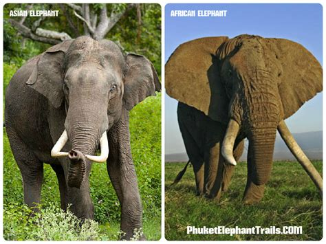 different types of elephants elephant trekking tours in phuket