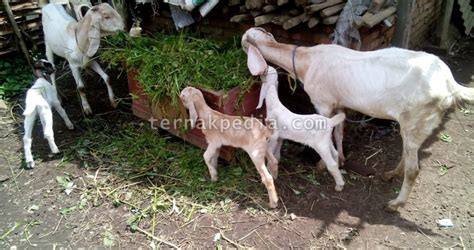 Anakan Kambing Lokal jumlah anak yang dihasilkan kambing akan menentukan laju