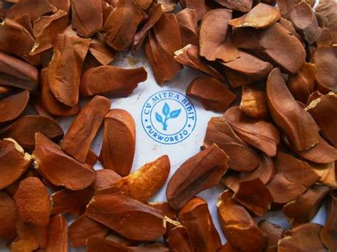 Bibit Mahoni Sell Wts Mahogany Seeds From Indonesia By Cv Mitra Bibit Cheap Price