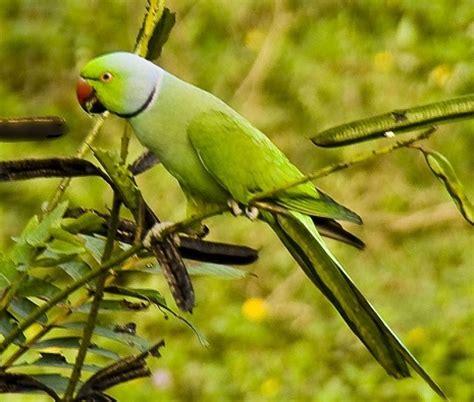alimentazione parrocchetto dal collare parrocchetto dal collare il mio pappagallo