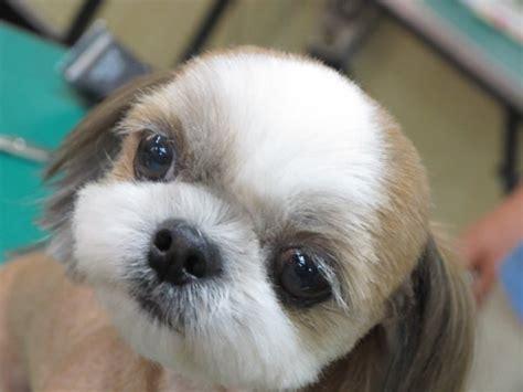 round face cut for dogs clean cut shih tzu billionaire dogs club