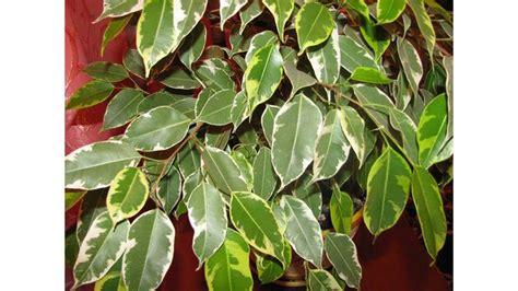 Ficus Benjamin Cura by Ficus Benjamina Cura E Consigli