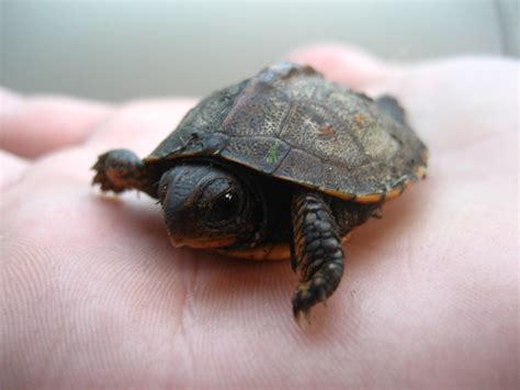 file tiny frog in hand jpg wikimedia commons file baby turtle on hand jpg wikimedia commons