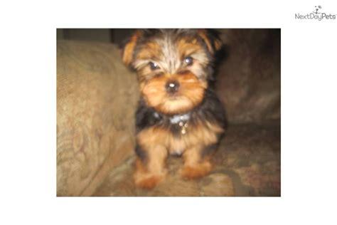 yorkie neutering yorkie neutered microchip terrier yorkie puppy for sale near san diego