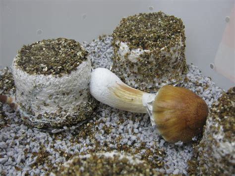 b fruiting temperature fruiting temperature for different strains cool