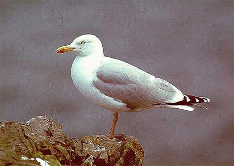gabbiano reale nordico quaderni di birdwatching gabbiano reale nordico e