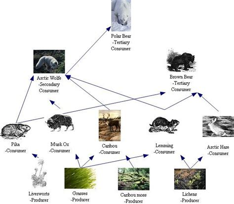 animal food chain diagram 78 images about biology project on arctic