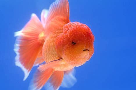 Makanan Ikan Mutiara Tropical 100gram kuya hejo tentang semua yang ku tahu
