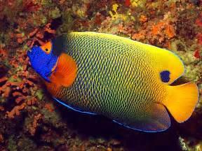 avenger blog angelfish