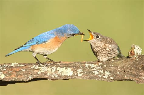 what do cracker beak birds eat question why do birds eat worms east idaho news