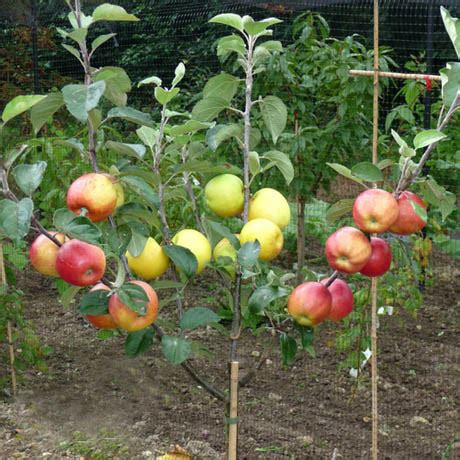 bench grafting apple trees cross pollination prospectrock org