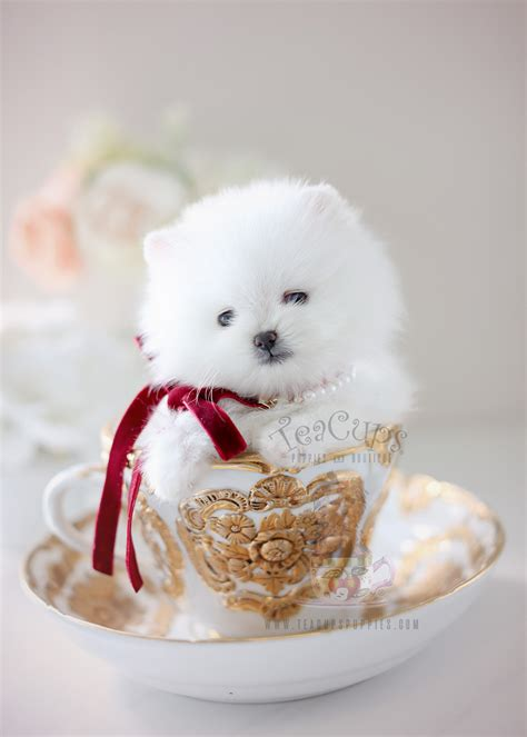 pomeranian puppies miami white teacup puppies www pixshark images galleries with a bite
