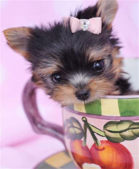 korean yorkies for sale micro teacup yorkie puppy by teacupspuppies teacup yorkies yorkie puppies