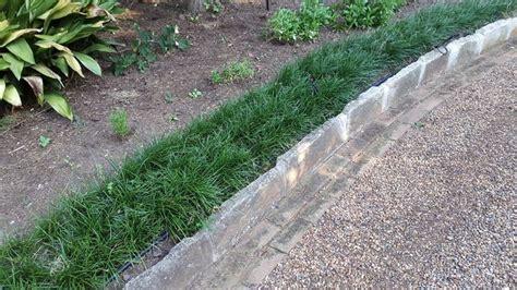 nana da giardino convallaria nana piante perenni coltivazione convallaria