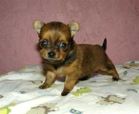 half pomeranian half poodle puppies half chihuahua half pomeranian breeds picture
